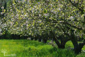 cerisiers-ferme